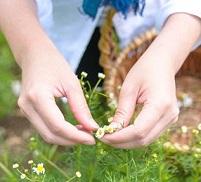 カモミールな日曜日‐収穫のお手伝いとワークショップ